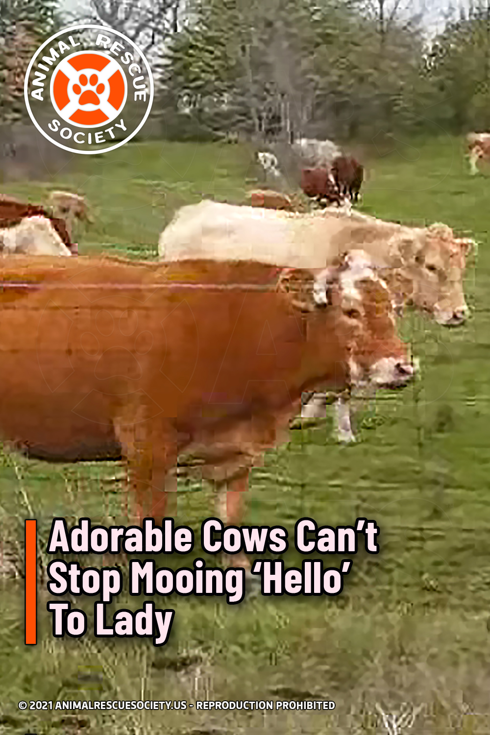 Adorable Cows Can't Stop Mooing 'Hello' To Lady