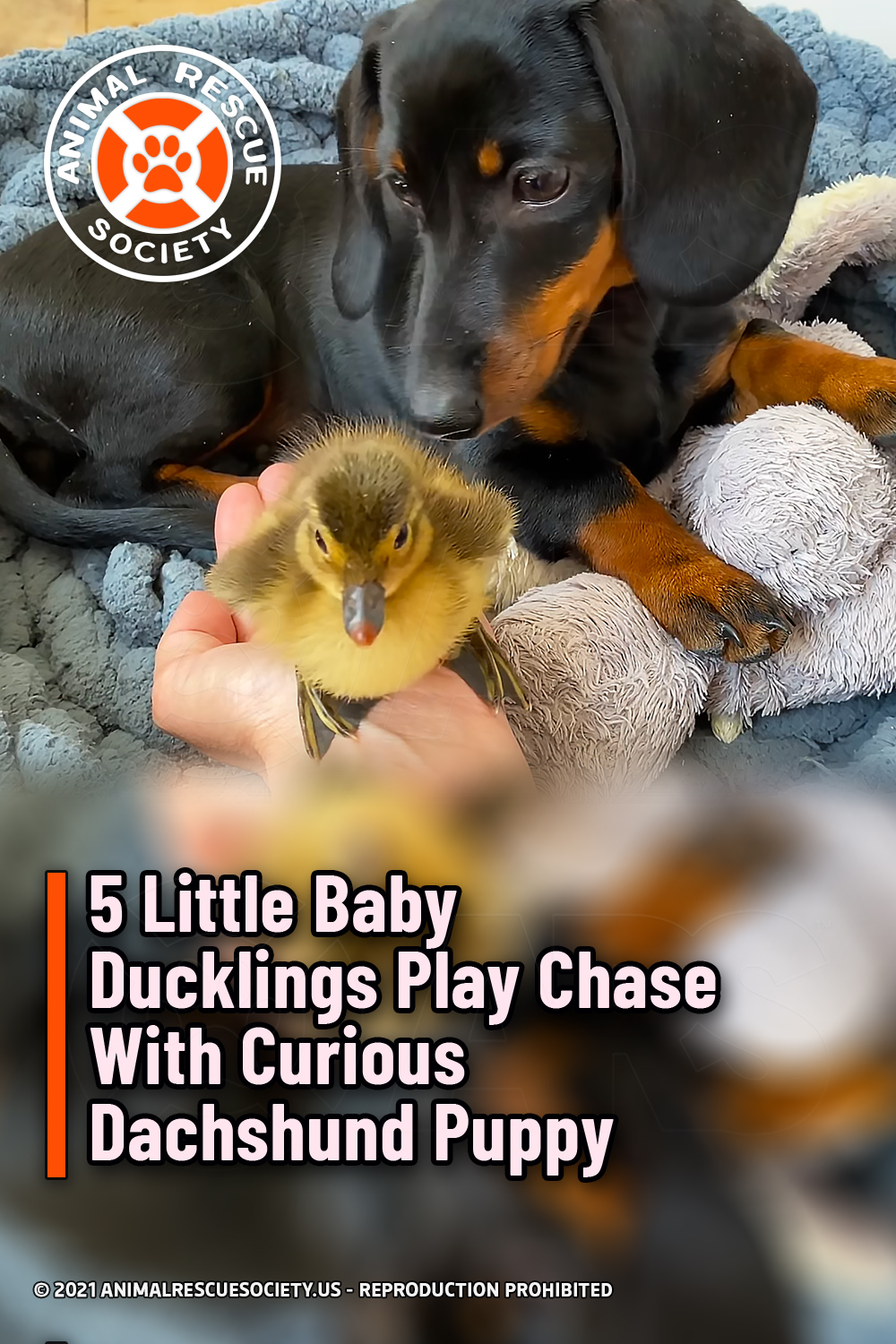 5 Little Baby Ducklings Play Chase With Curious Dachshund Puppy