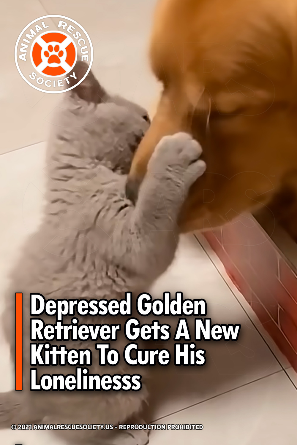 Depressed Golden Retriever Gets A New Kitten To Cure His Loneliness