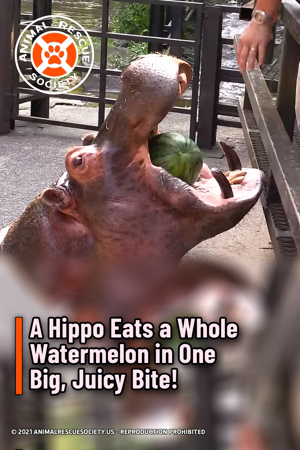 A Hippo Eats a Whole Watermelon in One Big, Juicy Bite!