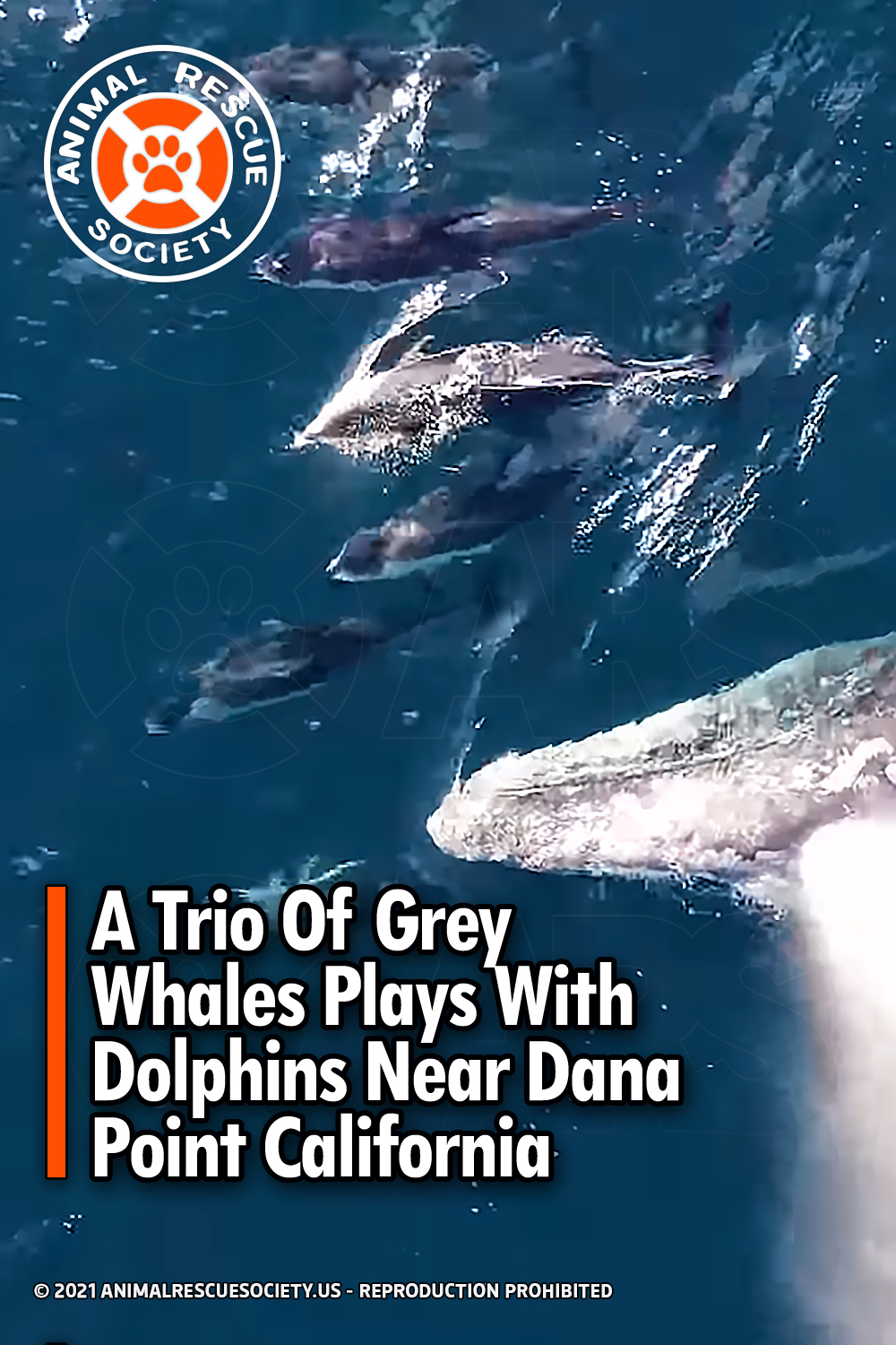 A Trio Of Grey Whales Plays With Dolphins Near Dana Point California
