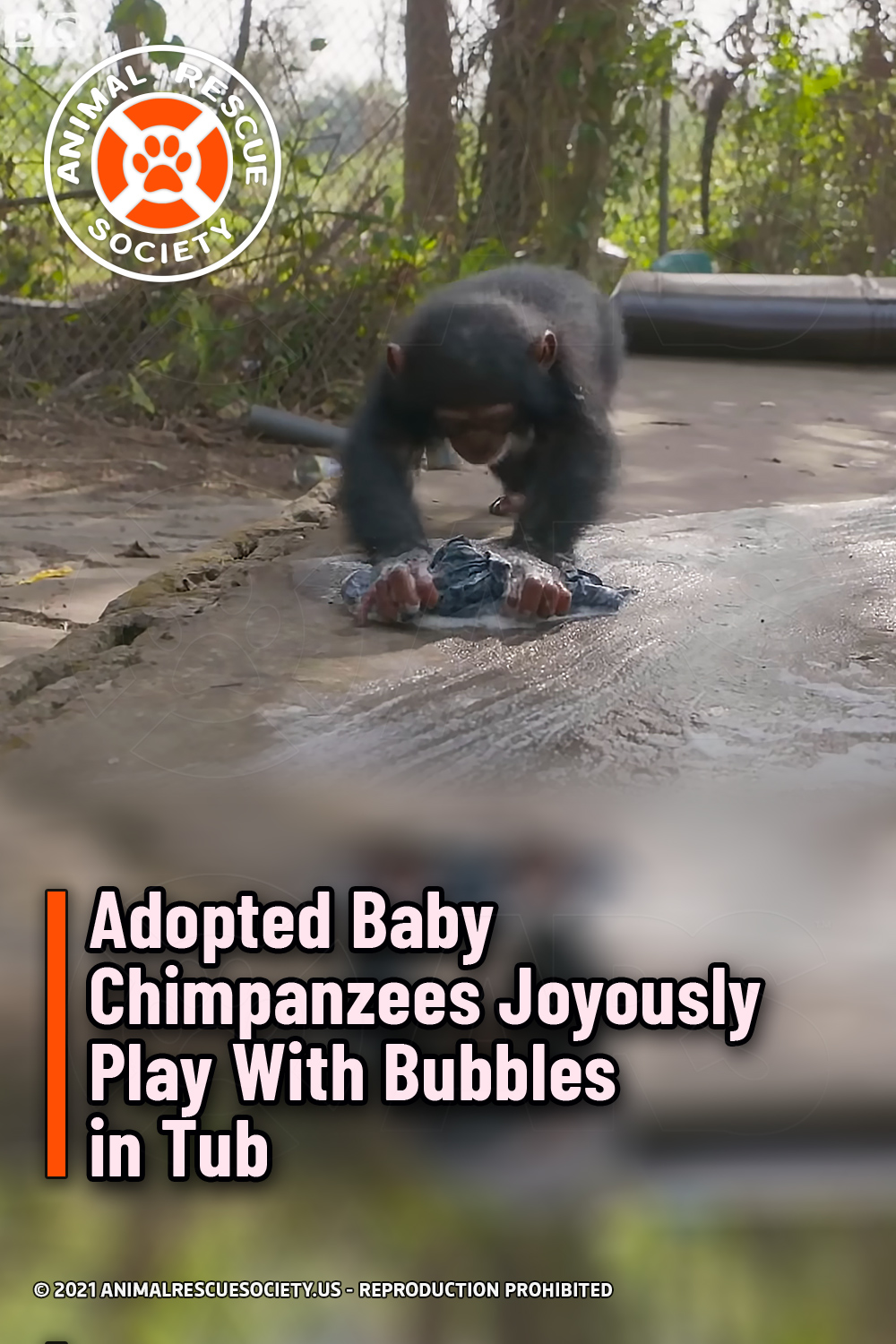 Adopted Baby Chimpanzees Joyously Play With Bubbles in Tub