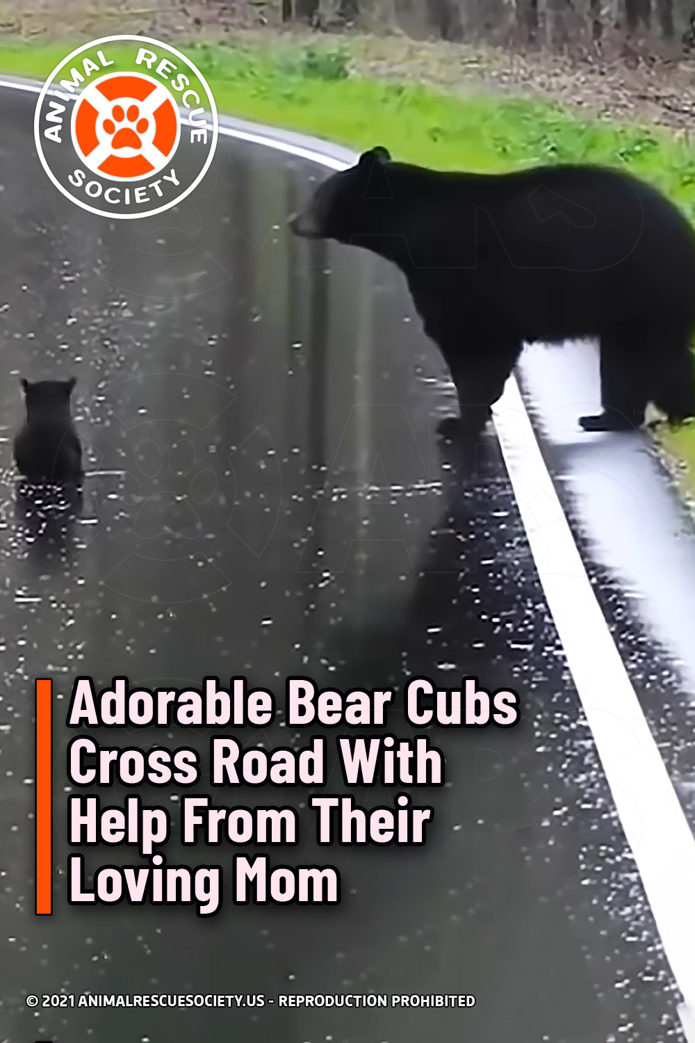 Adorable Bear Cubs Cross Road With Help From Their Loving Mom
