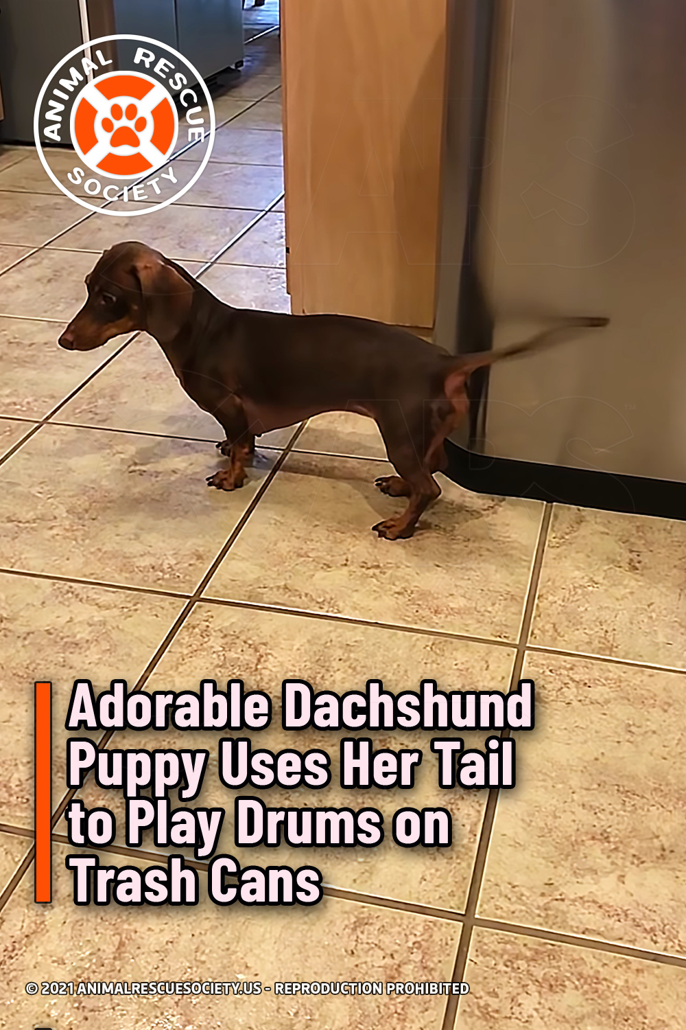 Adorable Dachshund Puppy Uses Her Tail to Play Drums on Trash Cans