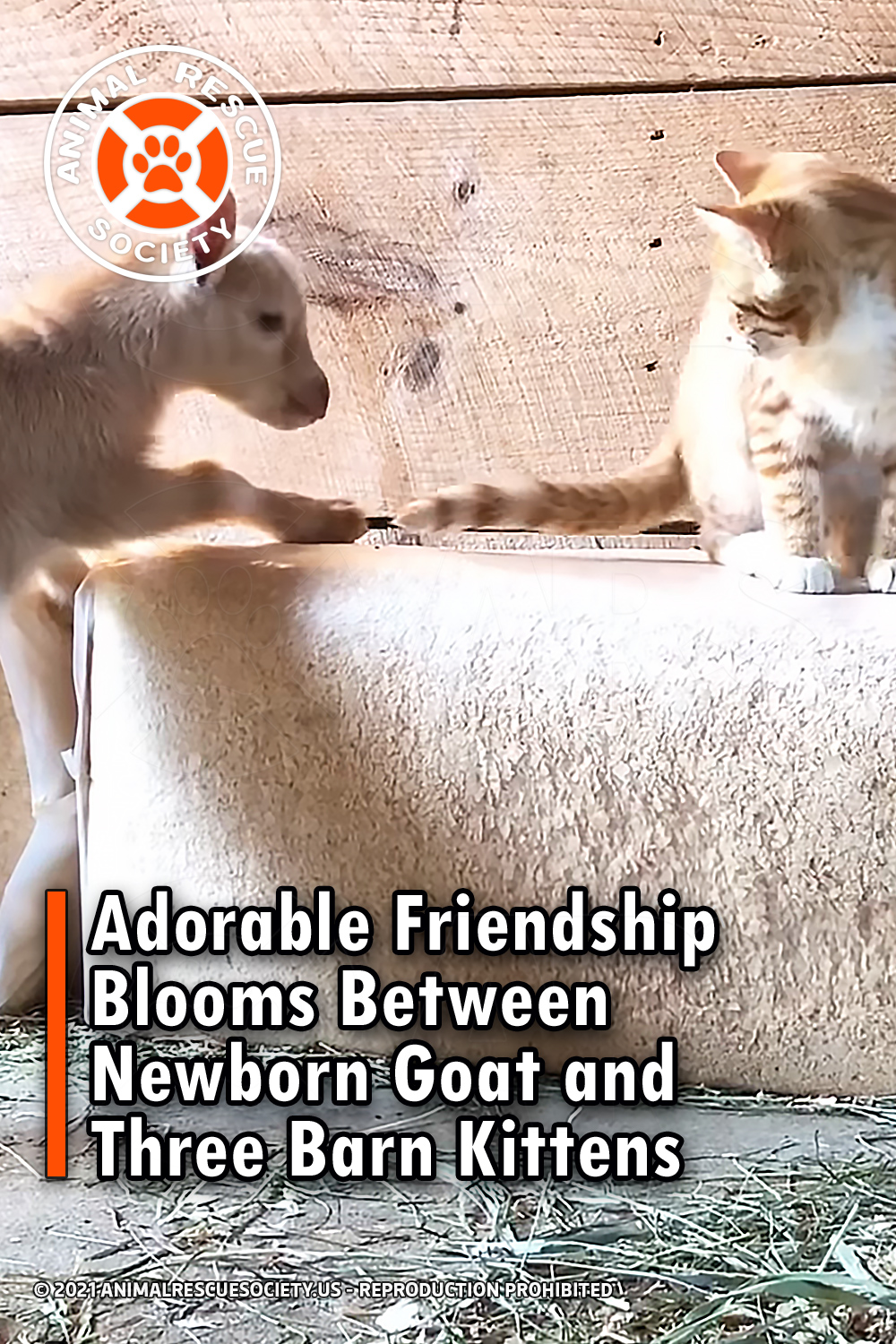 Adorable Friendship Blooms Between Newborn Goat and Three Barn Kittens
