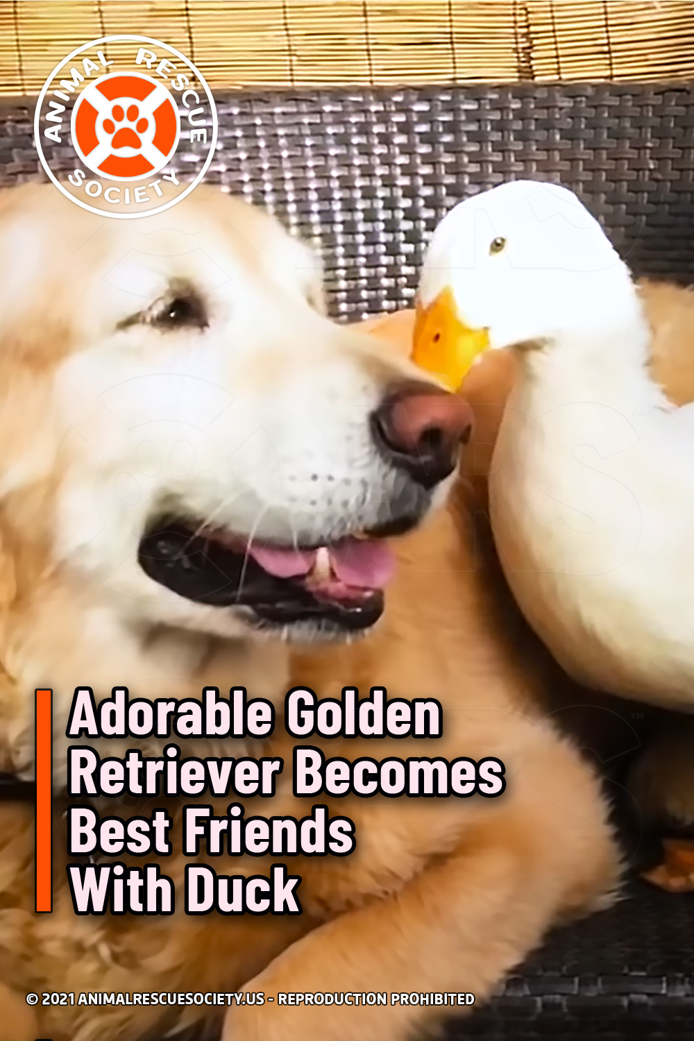 Adorable Golden Retriever Becomes Best Friends With Duck
