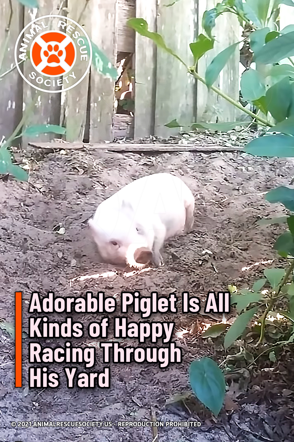 Adorable Piglet Is All Kinds of Happy Racing Through His Yard
