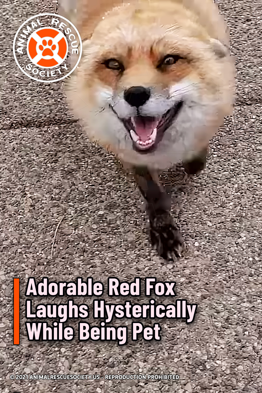 Adorable Red Fox Laughs Hysterically While Being Pet
