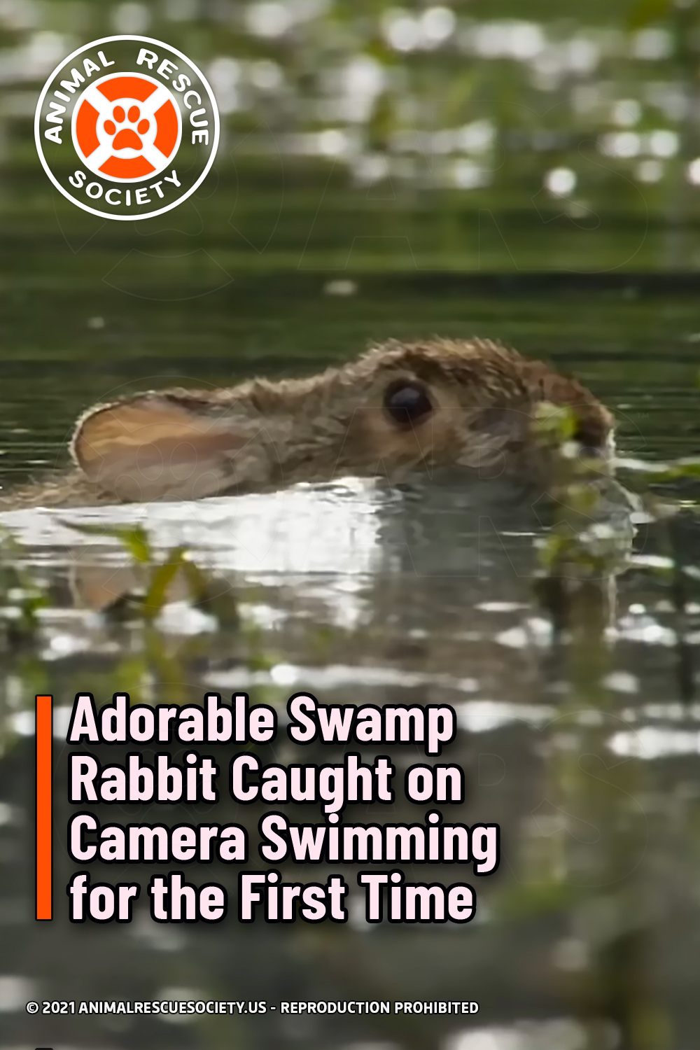 Adorable Swamp Rabbit Caught on Camera Swimming for the First Time
