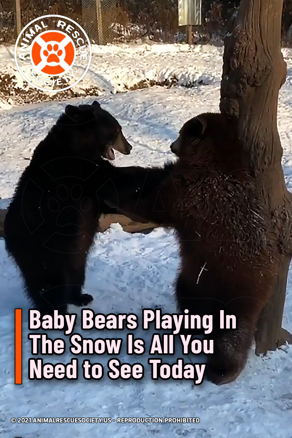 Baby Bears Playing In The Snow Is All You Need to See Today
