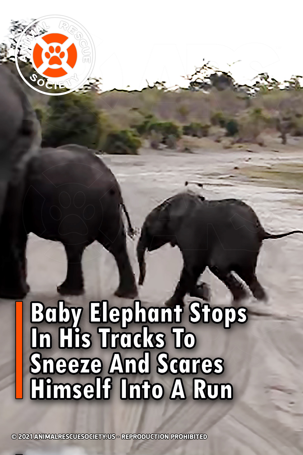 Baby Elephant Stops In His Tracks To Sneeze And Scares Himself Into A Run