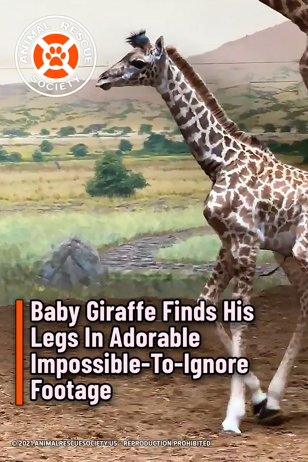 Baby Giraffe Finds His Legs In Adorable Impossible-To-Ignore Footage