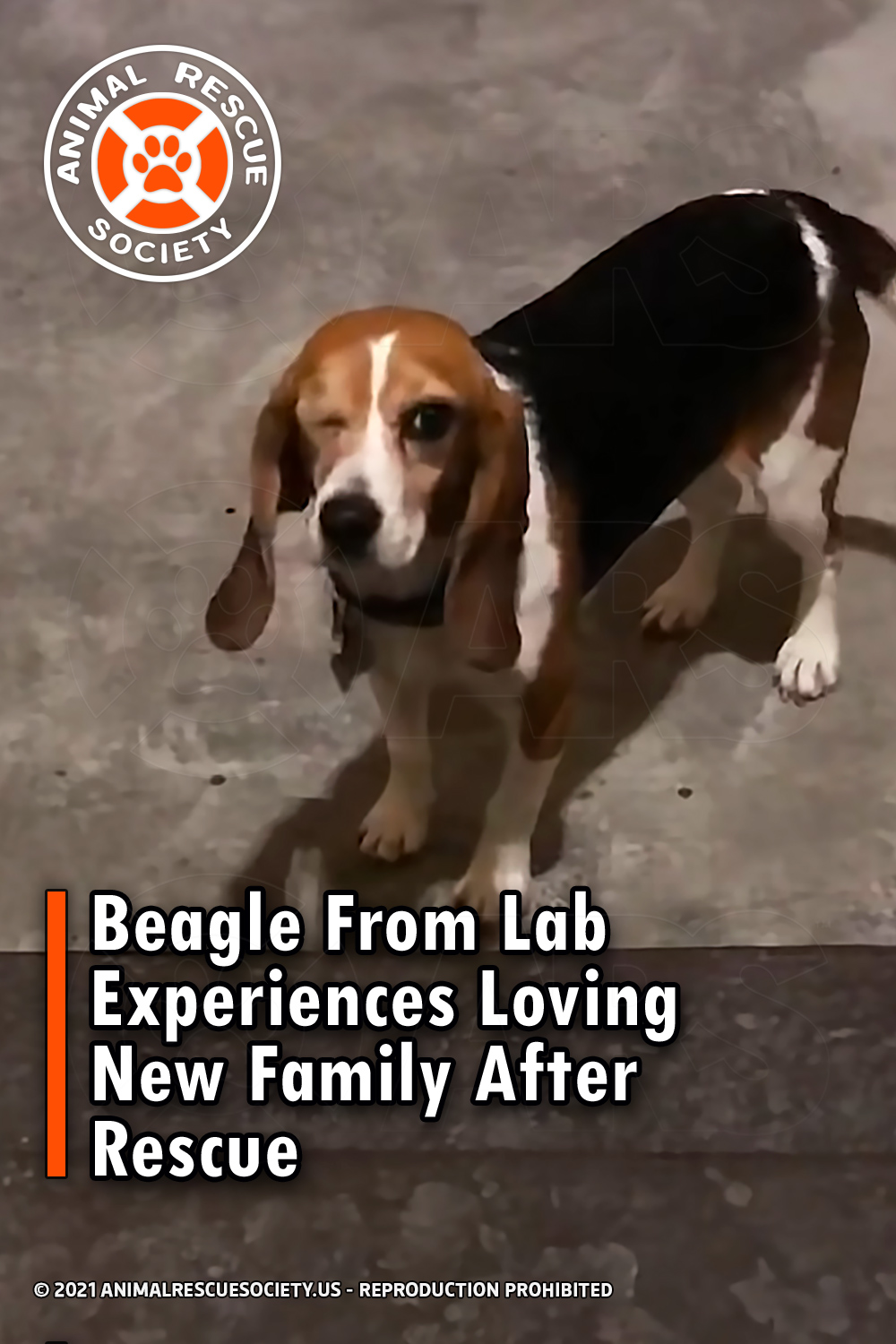 Beagle From Lab Experiences Loving New Family After Rescue
