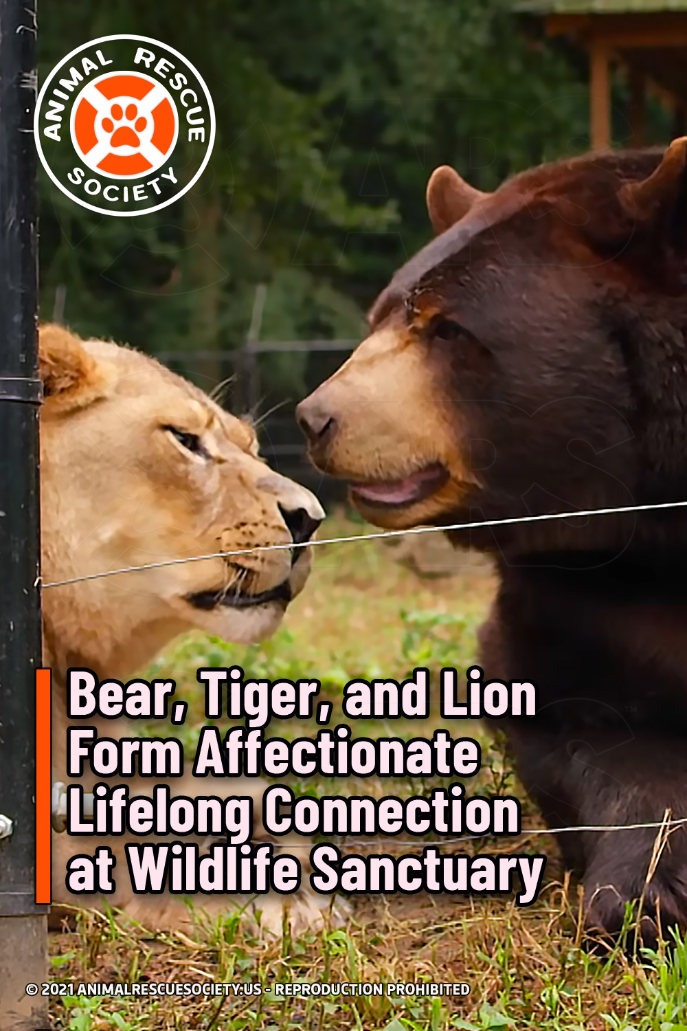 Bear, Tiger, and Lion Form Affectionate Lifelong Connection at Wildlife Sanctuary