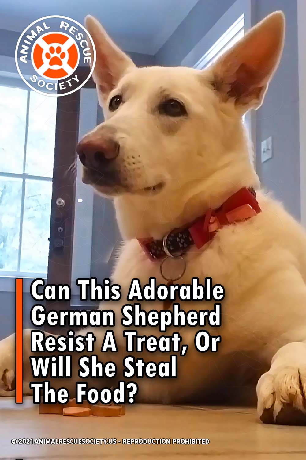 Can This Adorable German Shepherd Resist A Treat, Or Will She Steal The Food?