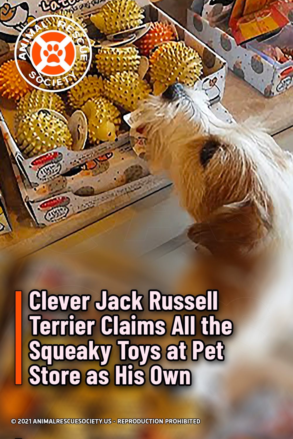 Clever Jack Russell Terrier Claims All the Squeaky Toys at Pet Store as His Own