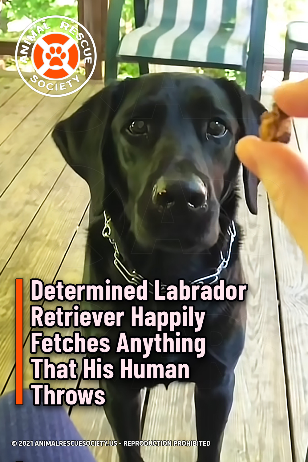 Determined Labrador Retriever Happily Fetches Anything That His Human Throws