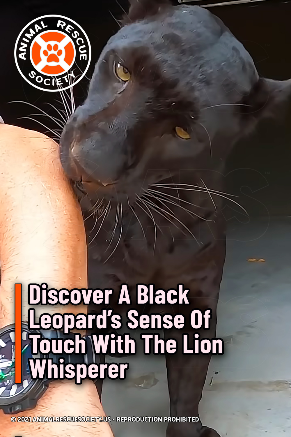 Discover A Black Leopard's Sense Of Touch With The Lion Whisperer