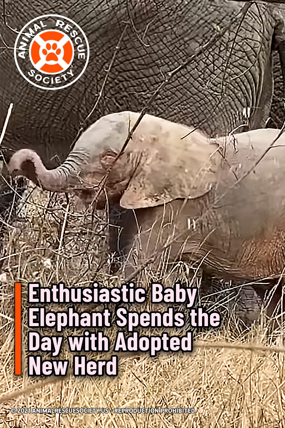 Enthusiastic Baby Elephant Spends the Day with Adopted New Herd