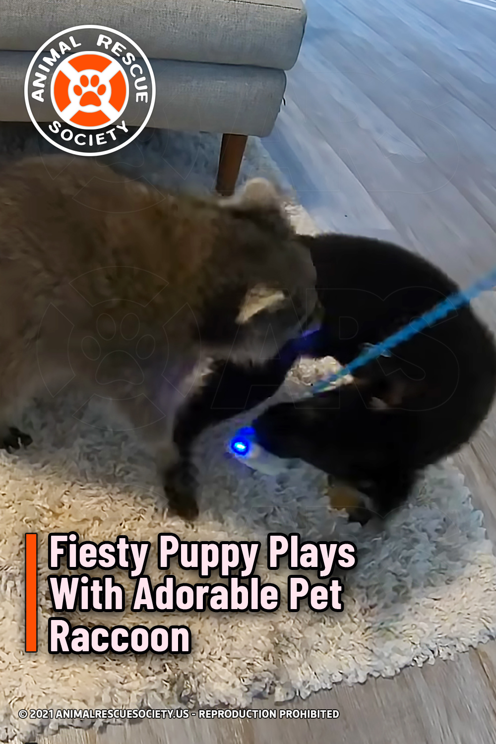Fiesty Puppy Plays With Adorable Pet Raccoon