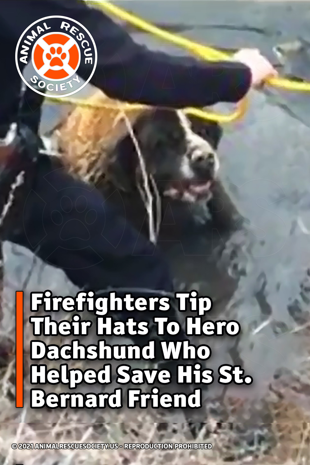 Firefighters Tip Their Hats To Hero Dachshund Who Helped Save His St. Bernard Friend