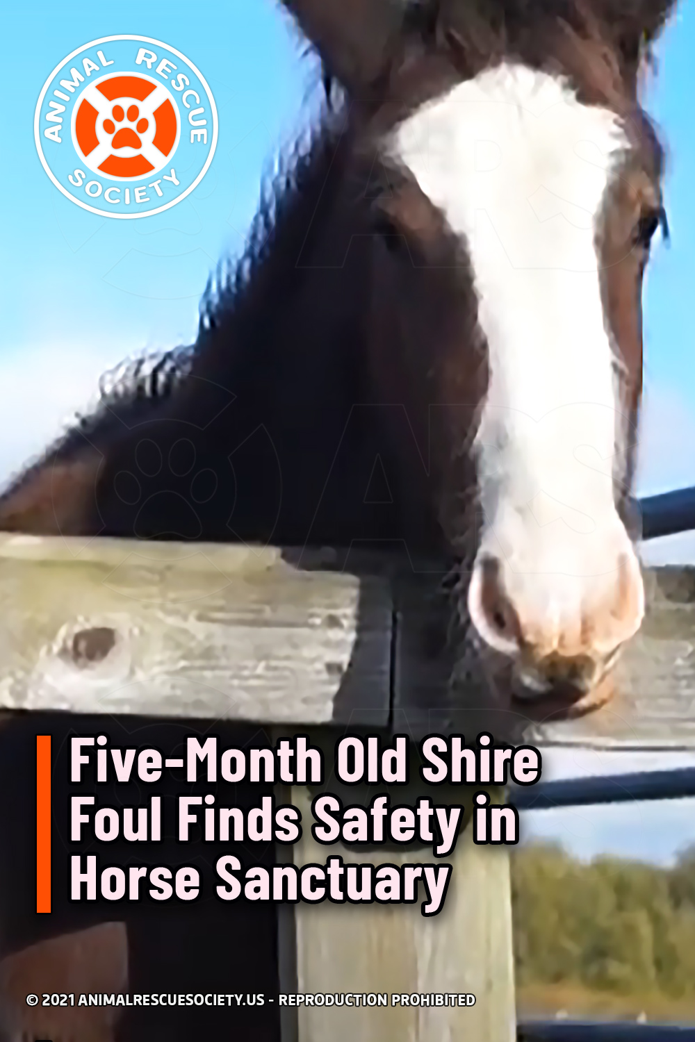 Five-Month Old Shire Foul Finds Safety in Horse Sanctuary