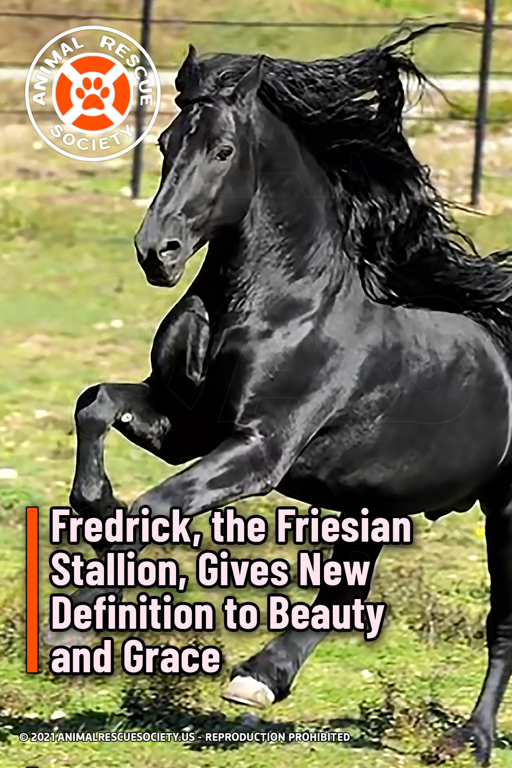 Fredrick, the Friesian Stallion, Gives New Definition to Beauty and Grace