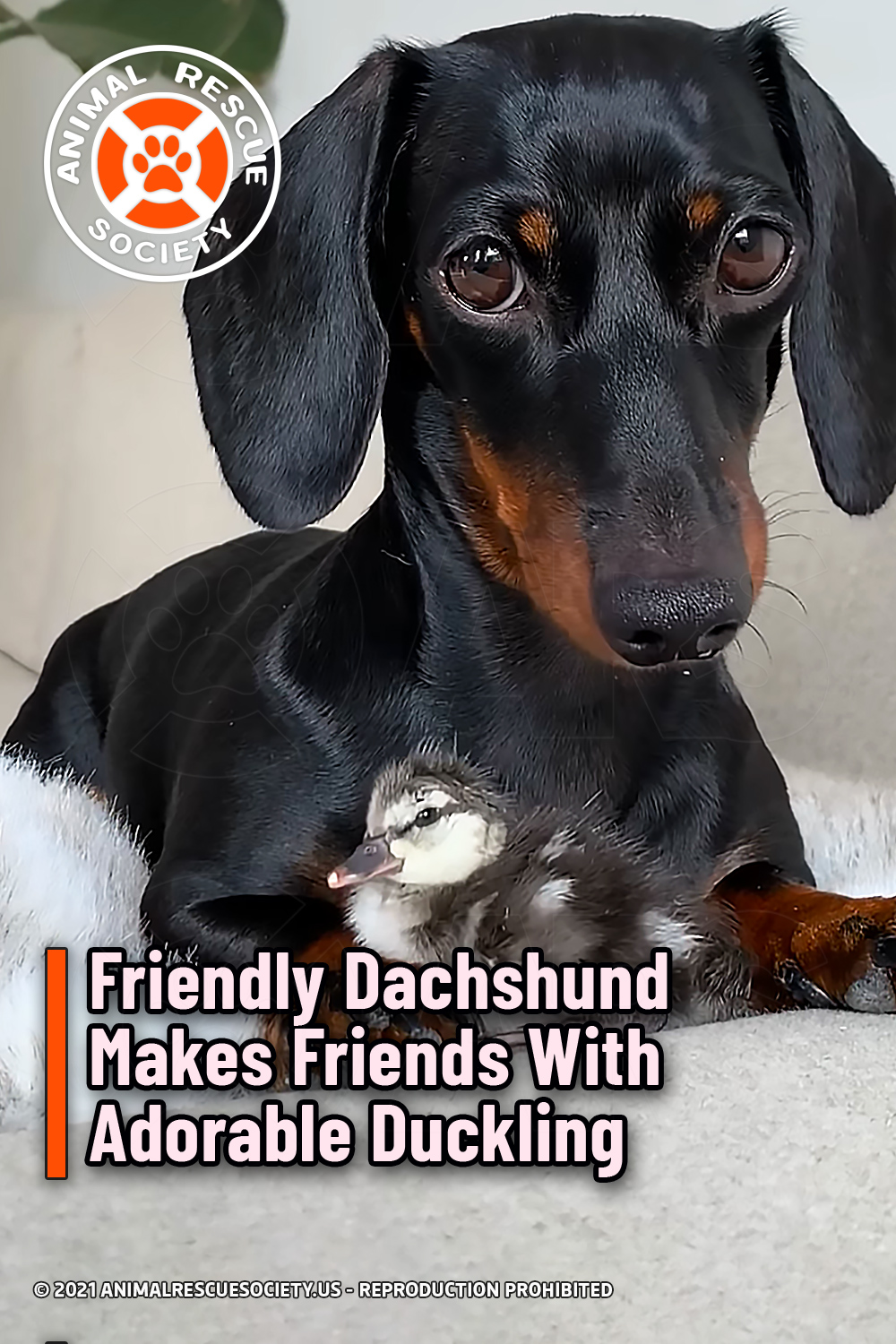 Friendly Dachshund Makes Friends With Adorable Duckling