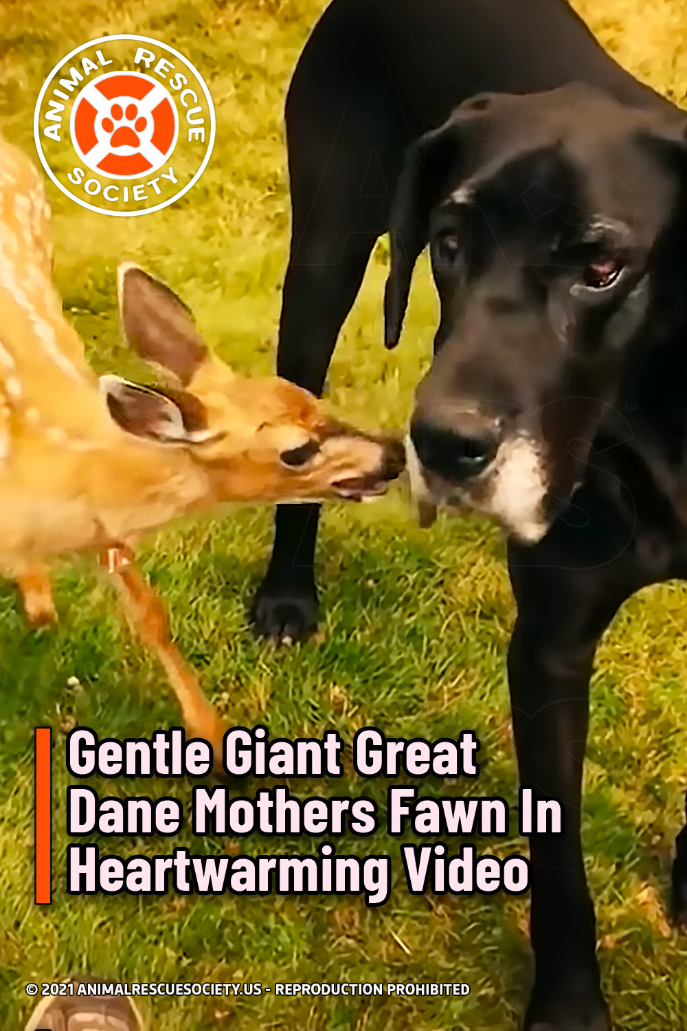 Gentle Giant Great Dane Mothers Fawn In Heartwarming Video