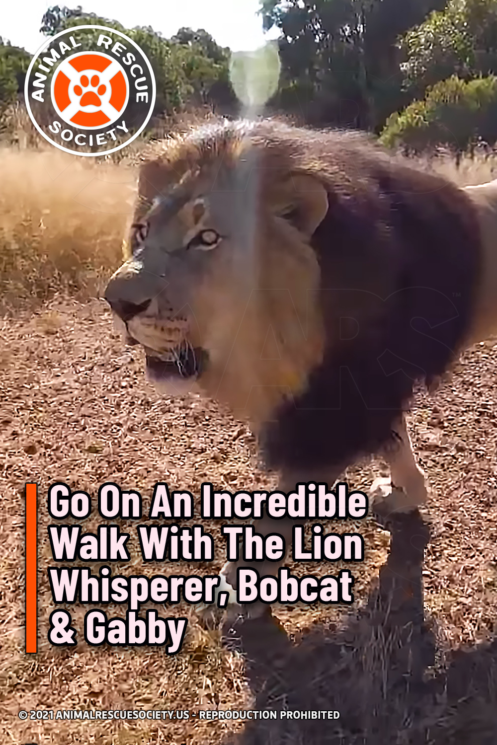 Go On An Incredible Walk With The Lion Whisperer, Bobcat & Gabby