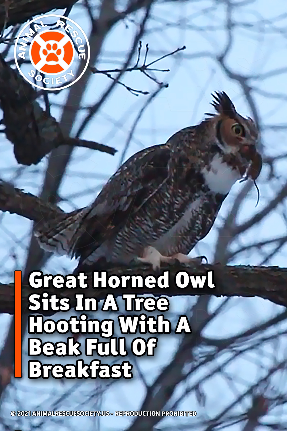 Great Horned Owl Sits In A Tree Hooting With A Beak Full Of Breakfast