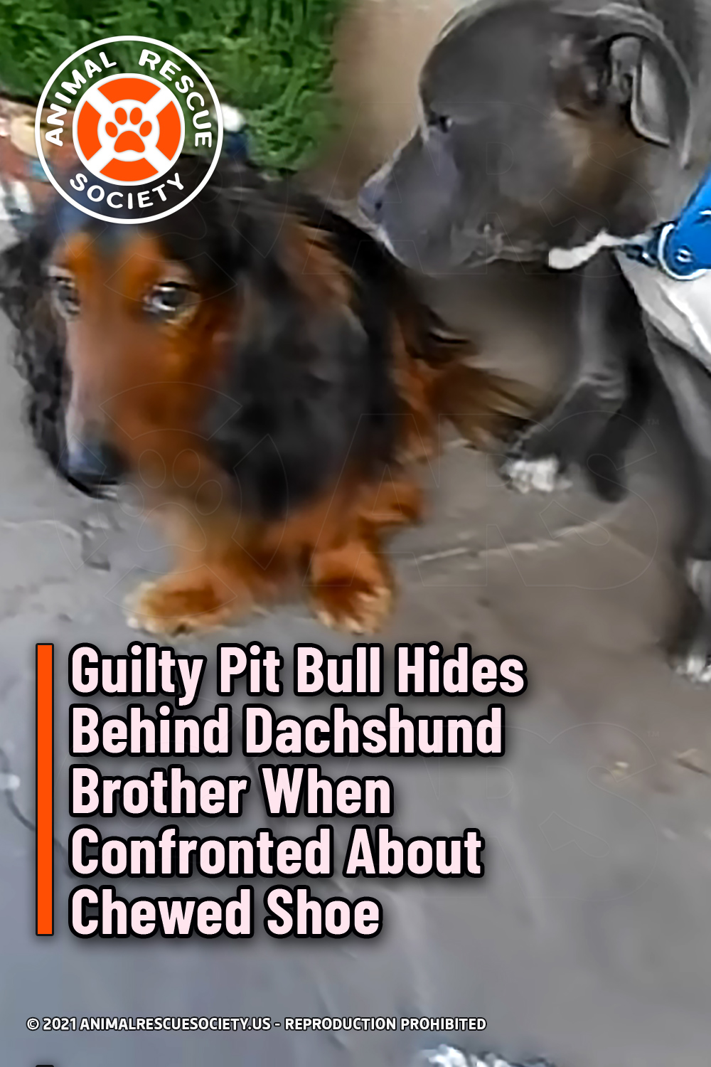 Guilty Pit Bull Hides Behind Dachshund Brother When Confronted About Chewed Shoe