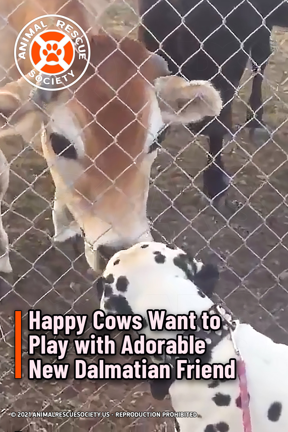 Happy Cows Want to Play with Adorable New Dalmatian Friend