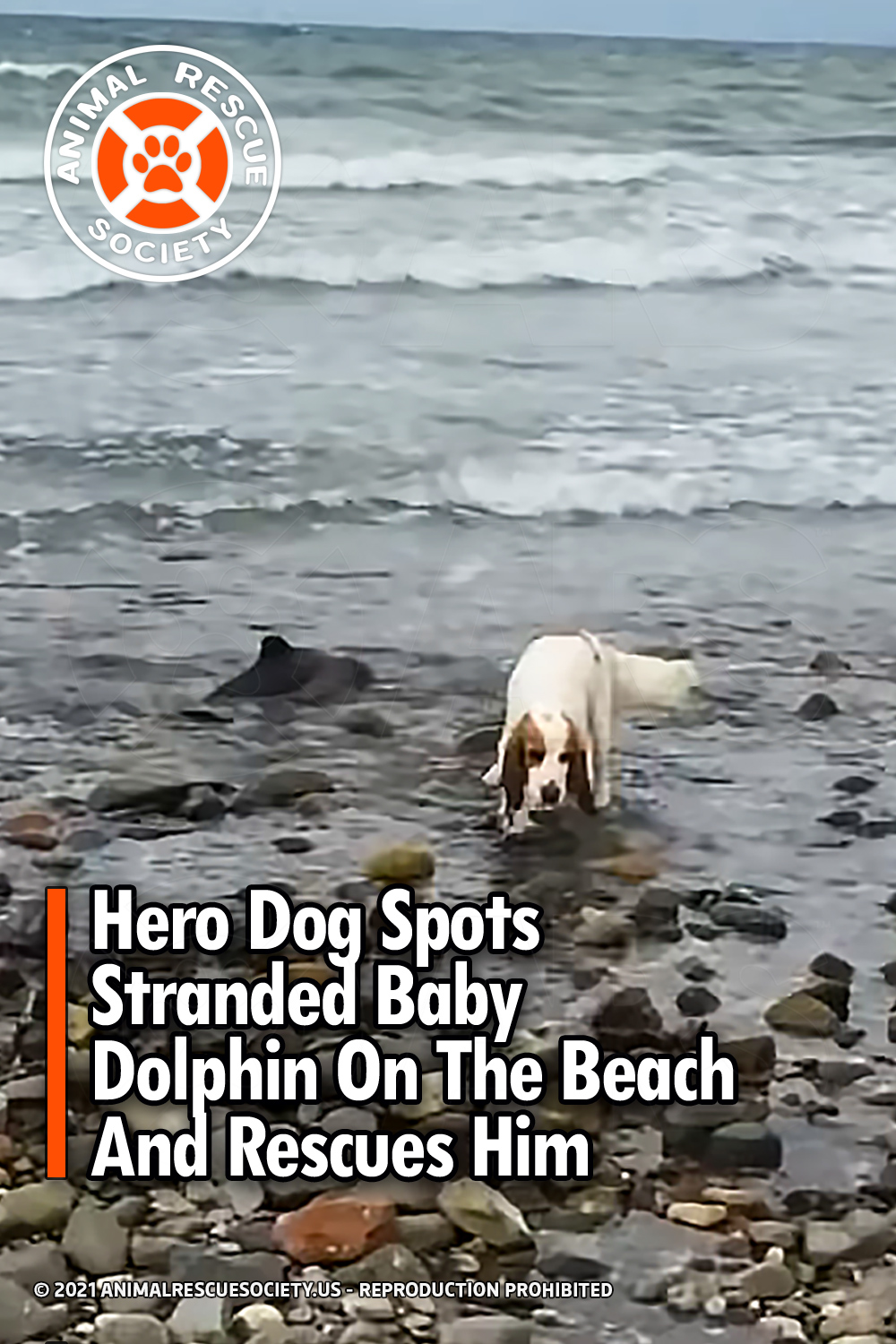 Hero Dog Spots Stranded Baby Dolphin On The Beach And Rescues Him