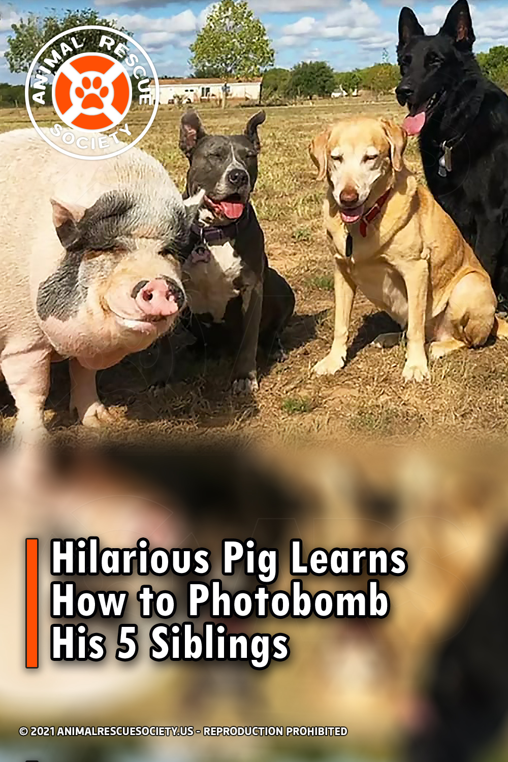 Hilarious Pig Learns How to Photobomb His 5 Siblings