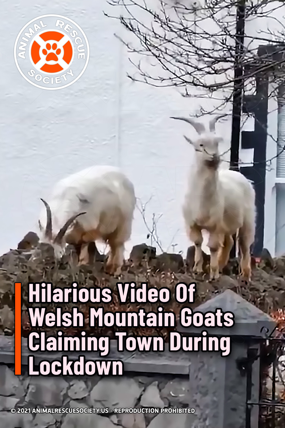 Hilarious Video Of Welsh Mountain Goats Claiming Town During Lockdown