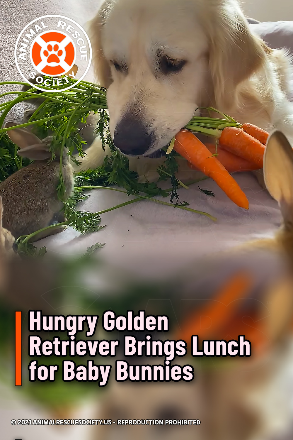 Hungry Golden Retriever Brings Lunch for Baby Bunnies