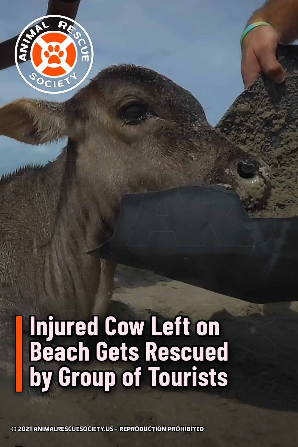 Injured Cow Left on Beach Gets Rescued by Group of Tourists