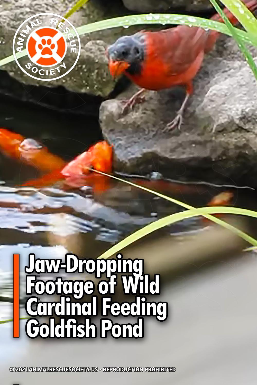 Jaw-Dropping Footage of Wild Cardinal Feeding Goldfish Pond