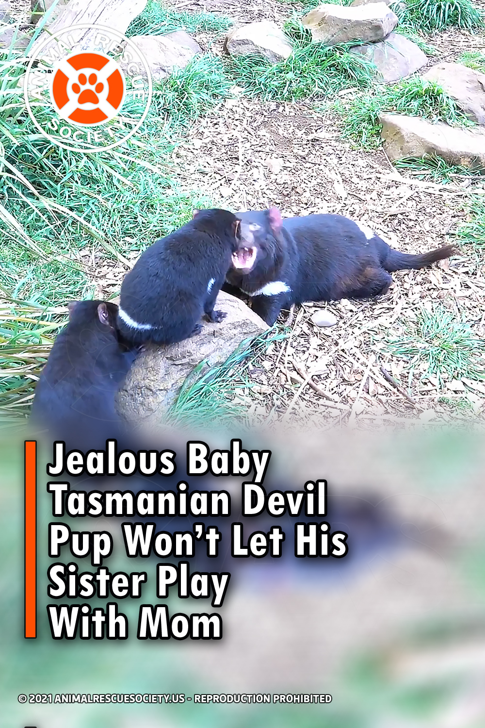 Jealous Baby Tasmanian Devil Pup Won't Let His Sister Play With Mom