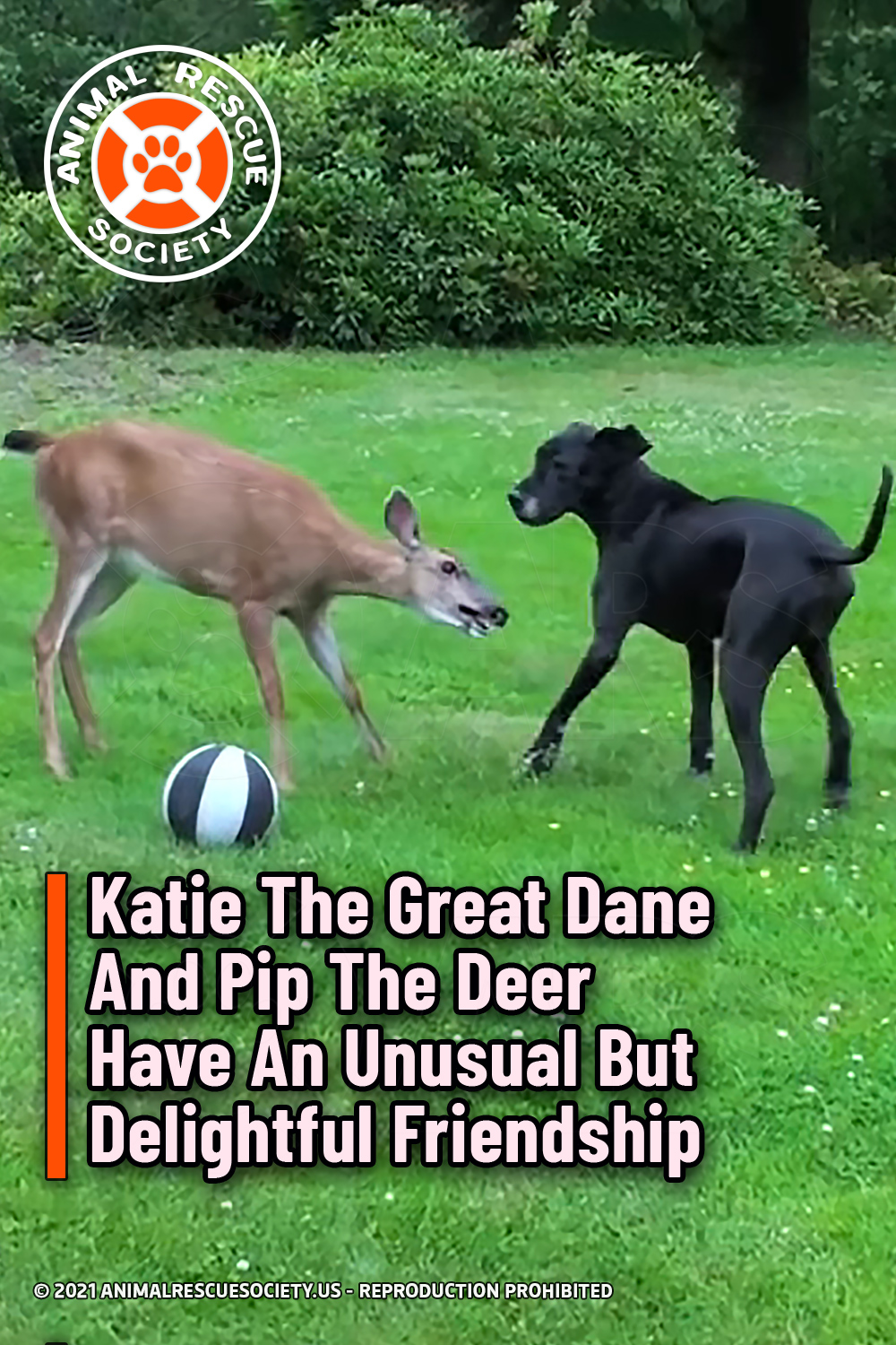 Katie The Great Dane And Pip The Deer Have An Unusual But Delightful Friendship