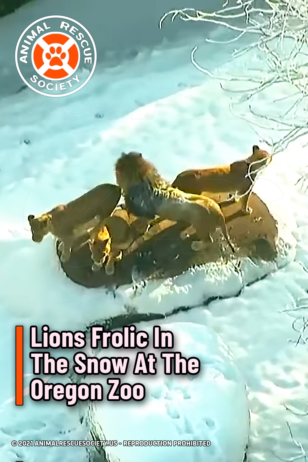 Lions Frolic In The Snow At The Oregon Zoo