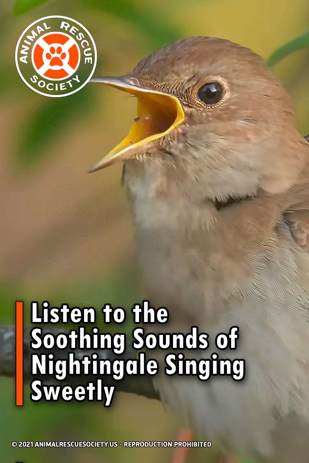 Listen to the Soothing Sounds of Nightingale Singing Sweetly