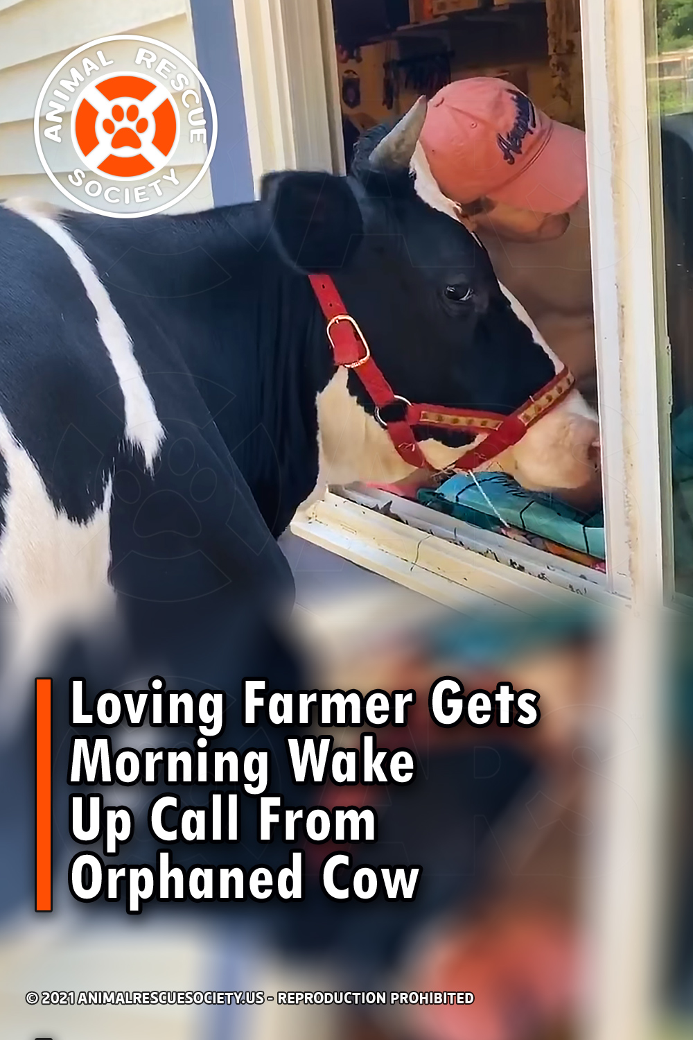 Loving Farmer Gets Morning Wake Up Call From Orphaned Cow