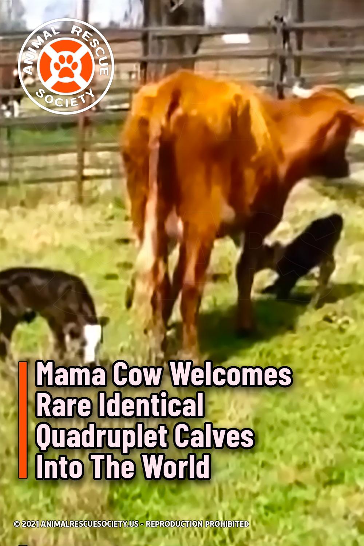 Mama Cow Welcomes Rare Identical Quadruplet Calves Into The World