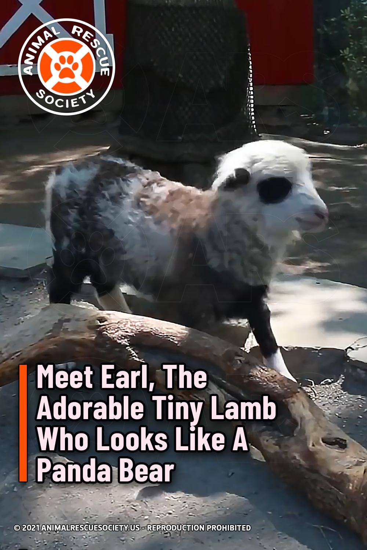 Meet Earl, The Adorable Tiny Lamb Who Looks Like A Panda Bear