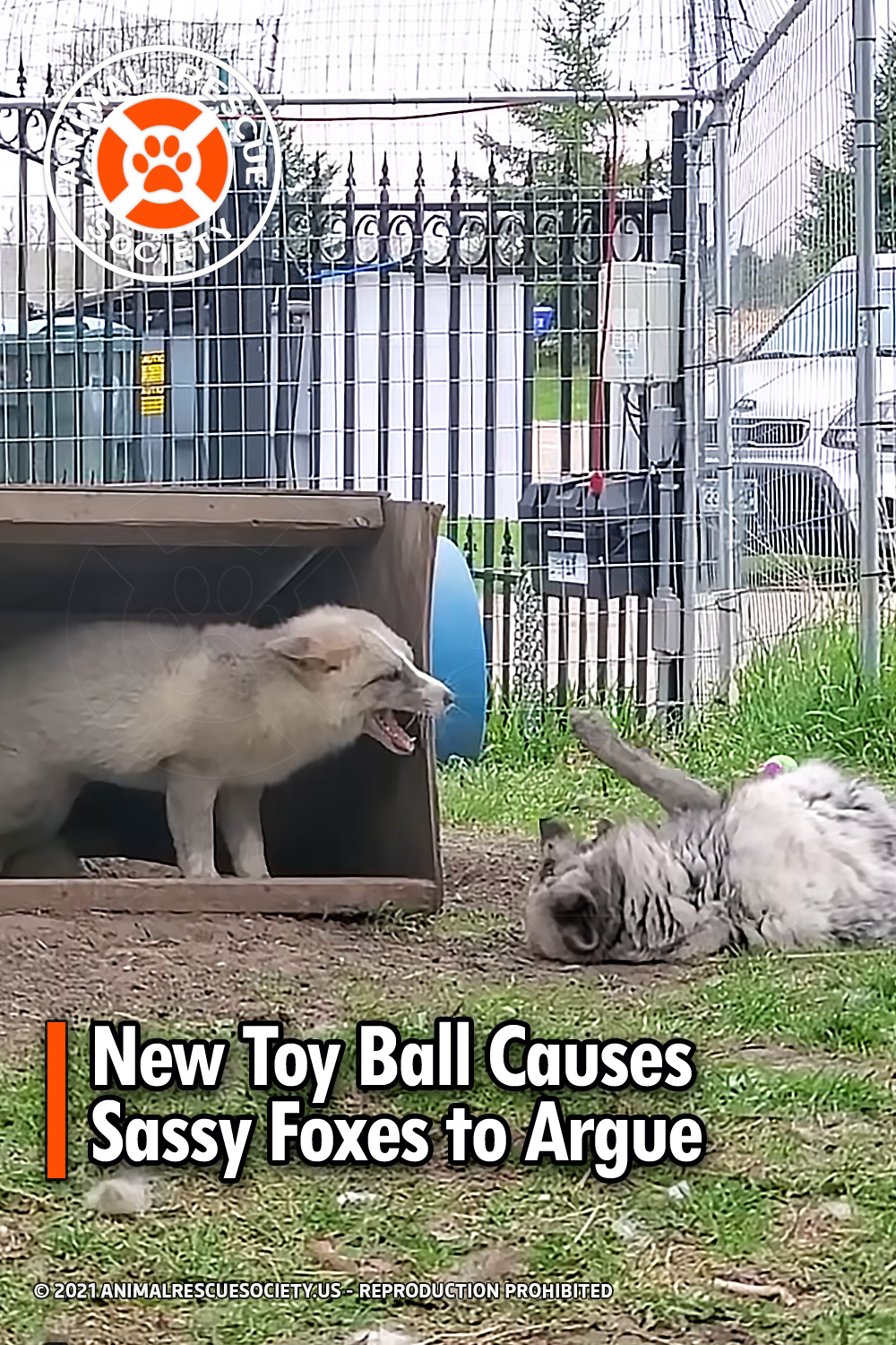 New Toy Ball Causes Sassy Foxes to Argue