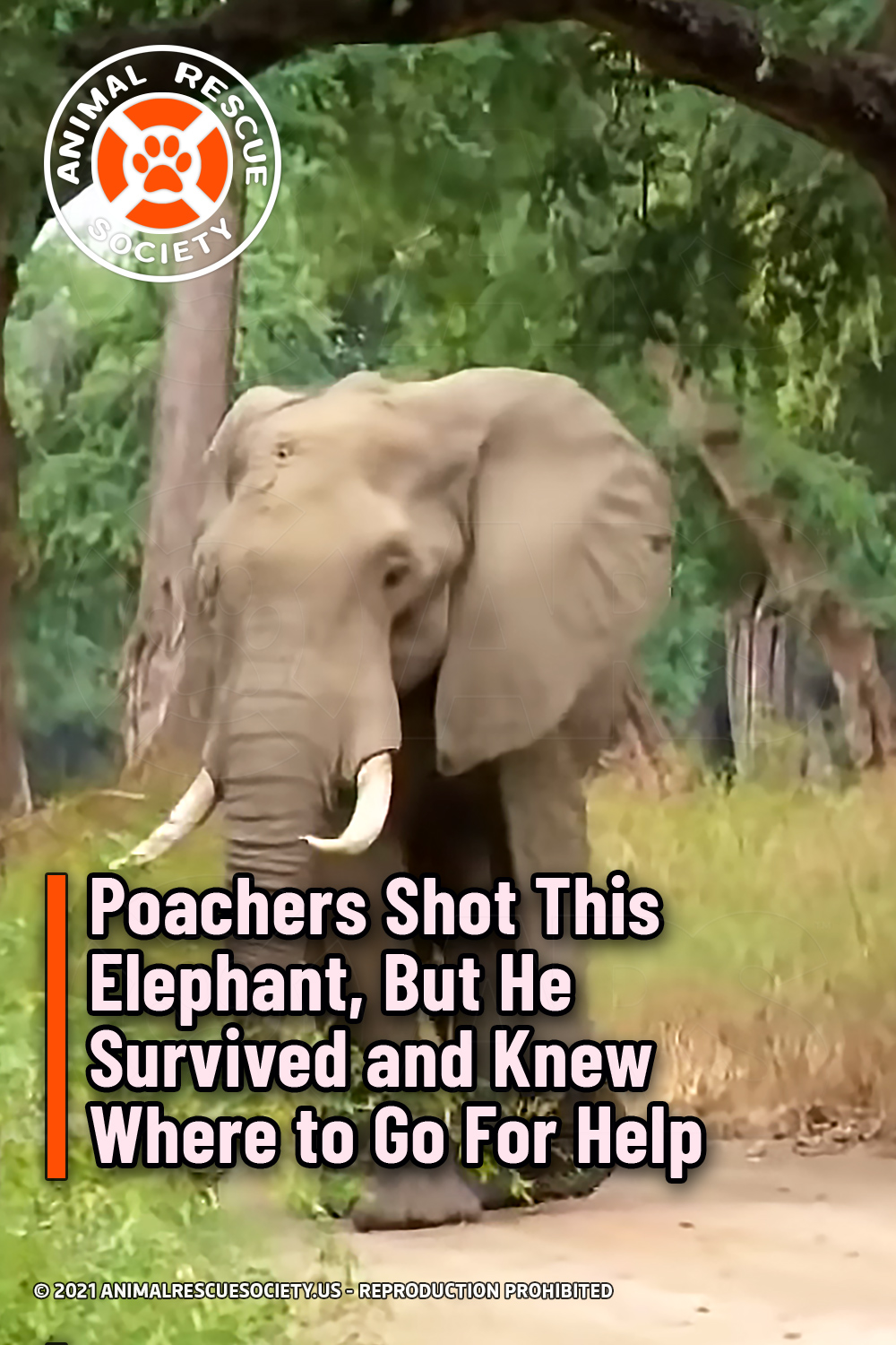 Poachers Shot This Elephant, But He Survived and Knew Where to Go For Help