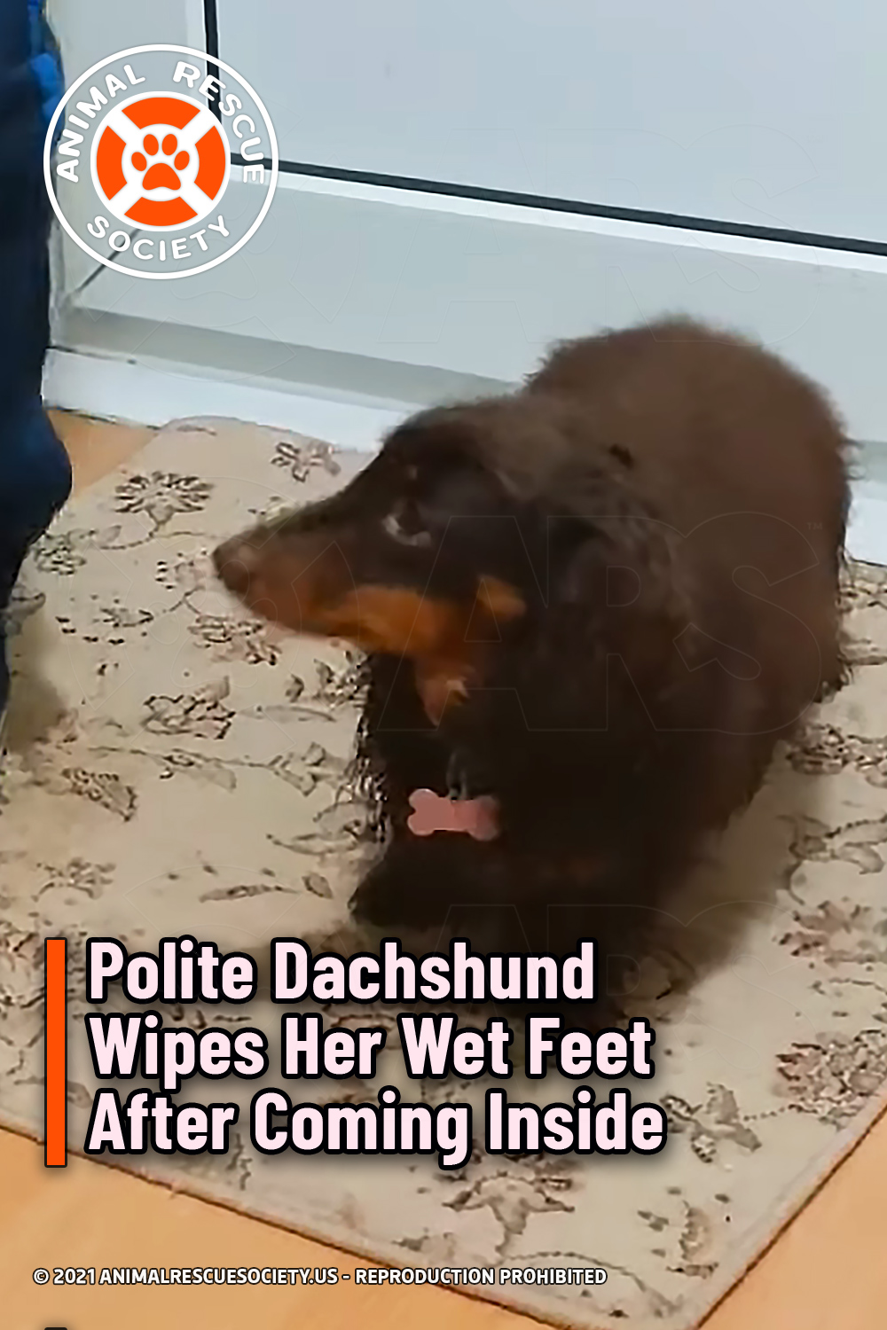 Polite Dachshund Wipes Her Wet Feet After Coming Inside