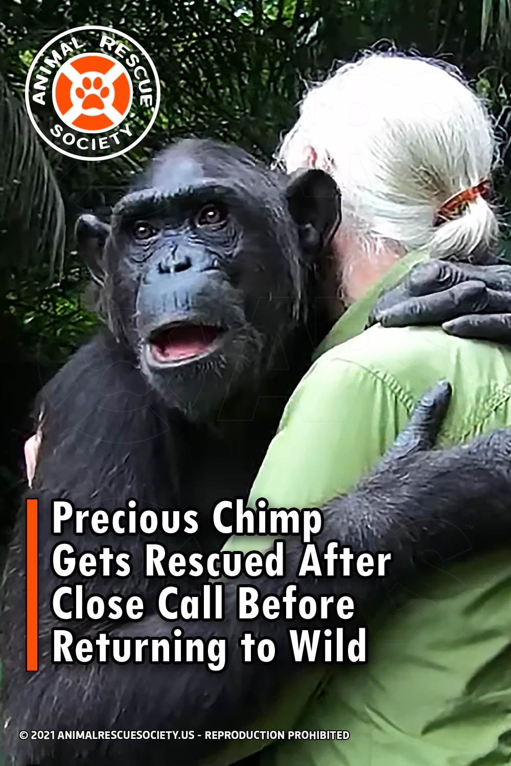Precious Chimp Gets Rescued After Close Call Before Returning to Wild